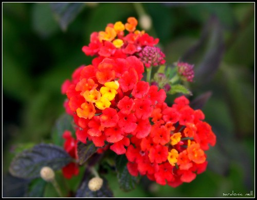 Attracted to Lantanas