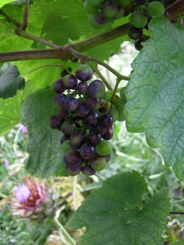 Rondo red grape