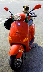 Pug on a Vespa (Sodapopper) Tags: red ny vespa pug scooter southampton moped