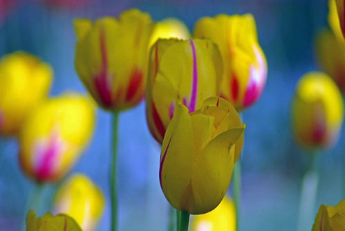 Yellow-red tulips from Istanbul Tulip Festival (Istanbul, Pentax K10D)