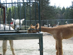 2008Apr19_Alpacas_1886