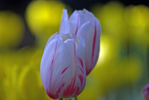 white-red tulips, istanbul tulip festival, pentax k10d