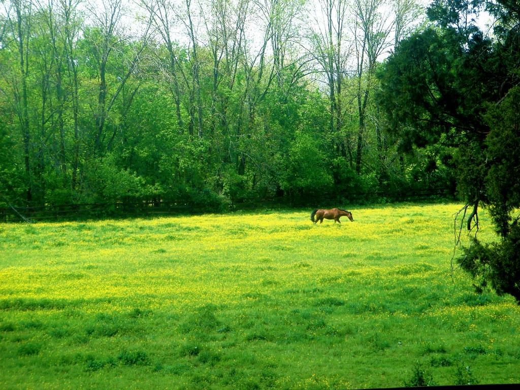 Grazing Horse In a Field of Buttercups