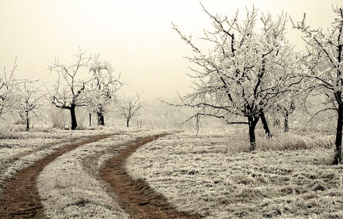 Frosted Trees by svenwork