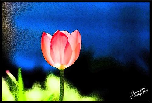 tulipfresco