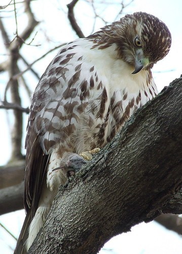 red-tailed hawk with vole