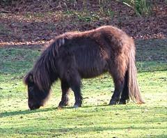 Short Horse