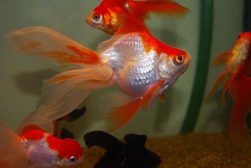 Златна рибица (аутор 陈霆)