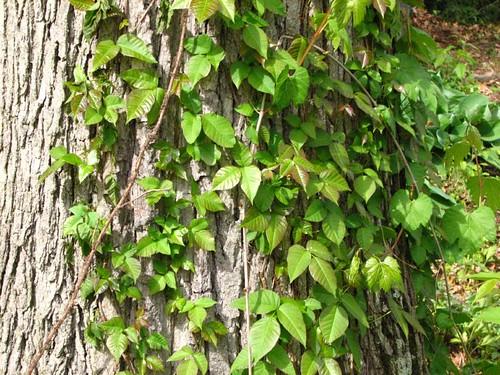 Bad Ivy