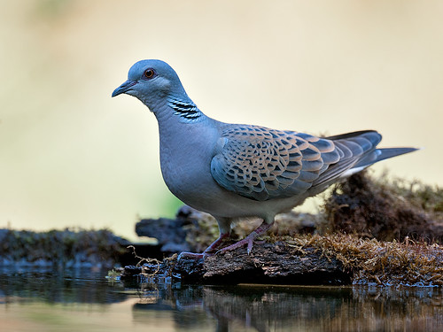 Turtle Dove at drinking pool