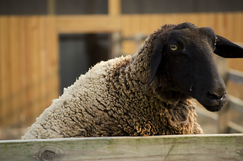 blackfaced sheep by L. Wiggins