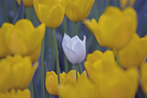 white and yellow tulips, istanbul tulip festival, istanbul, pentaxk10d