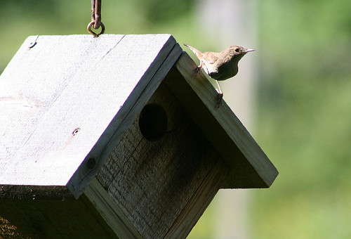 House Wren at birdhouse