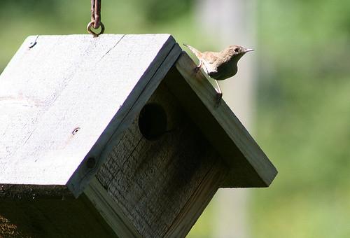 House Wren at birdhouse
