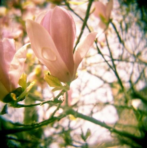 Magnolias