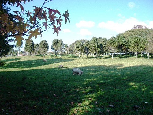 Sheep grazing where the hospital once stood.