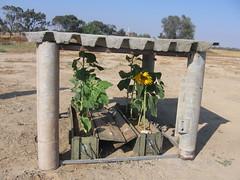 Sunflowers under concret