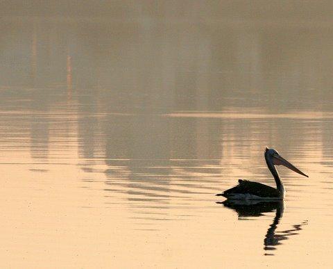 single pelican madivala lake 241107