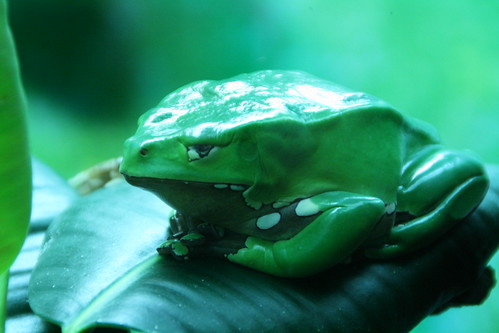 Slimy, Green and Large Frog