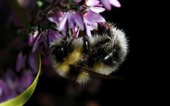 Male Bombus jonellus - Warren Glen, HCPNR