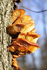Orange Fungi on Elm