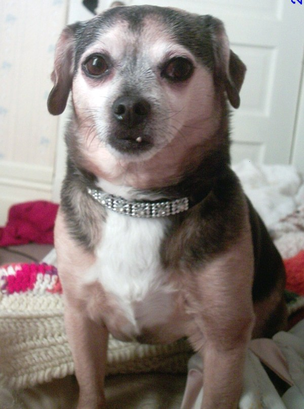 Call Chihuahua Beagle Mix Yahoo Answers