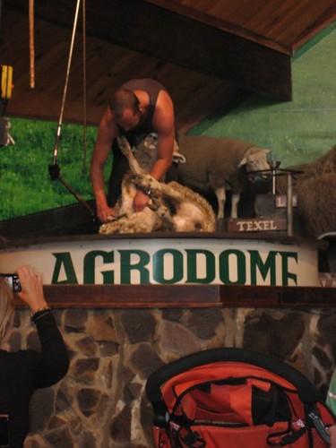 sheep in NZ #44