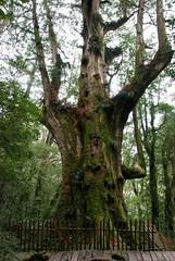 大老爺巨木,這顆最有特色
