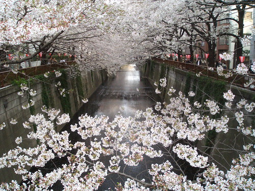 meguro river in bloom 1