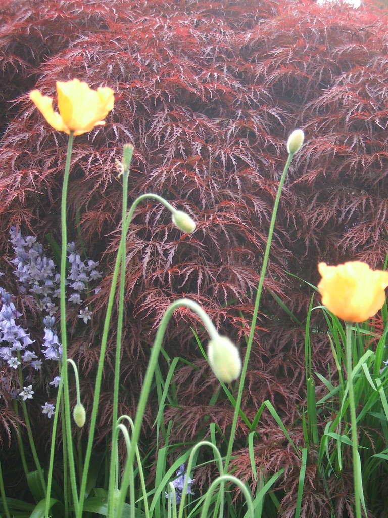 Poppies and scilla against Japanese maple