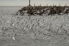 ton of gulls