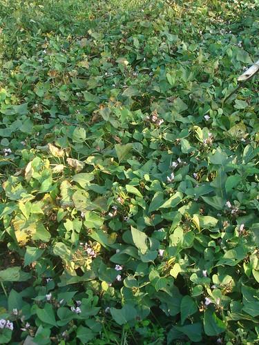 地瓜花1-1