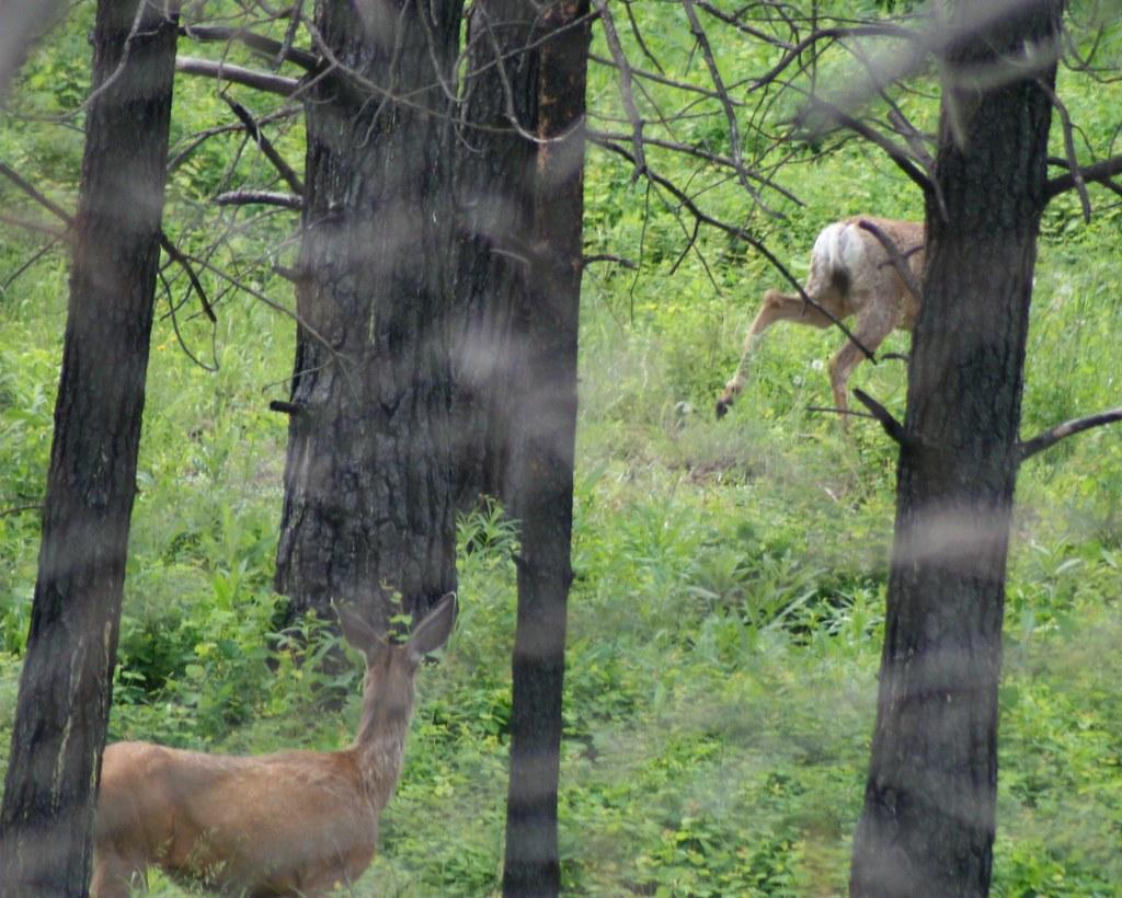 deer from behind