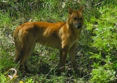 Dingo in the Wild