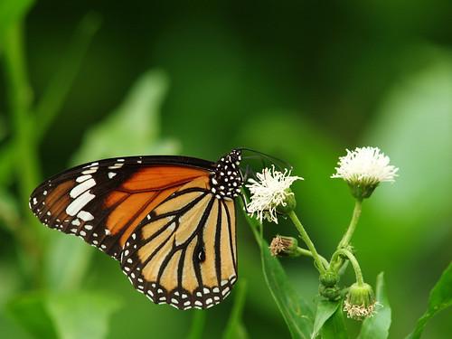 butterfly_20071013_04.jpg