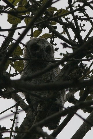 baby mottled wood owl lalbagh 220308