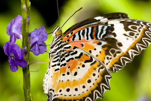 The Malay Lace Wing Butterfly