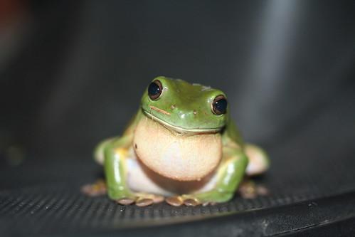 Green Tree Frog    Litoria caerulea