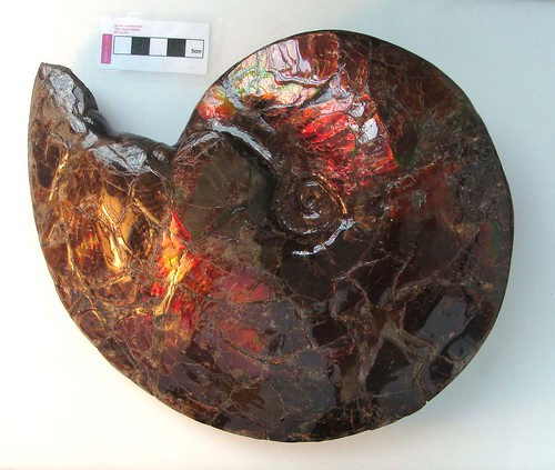 Image, An ammonite preserved in ammolite. Ammolite is made from crushed ammonite shells.