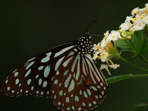 butterfly_20071013_01.jpg