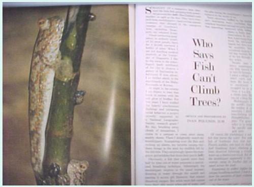 NatGeo 1972 Mudskipper article