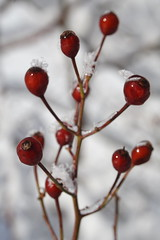 Rose Hips for Valentine's Day