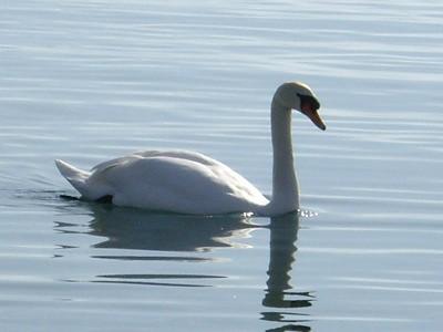 Un cisne en el Lac Léman en Lausanne