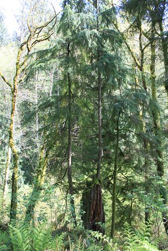 Cougar Mountain - Licorice Fern Trail - Determined Tree on Tree (Far)