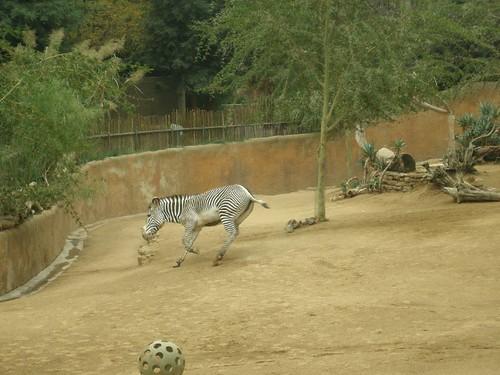 Zebra.  Moving.