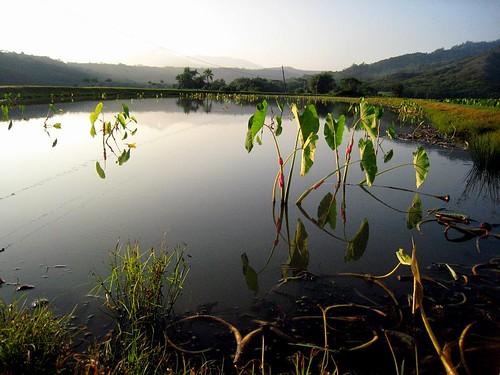hanalei, taro fields