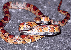 Corn Snake -- se Georgia, USA