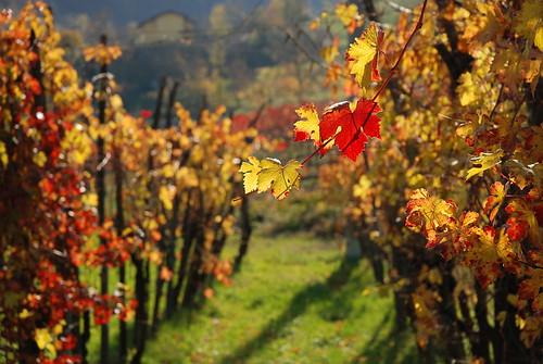 vitis vinifera 2007