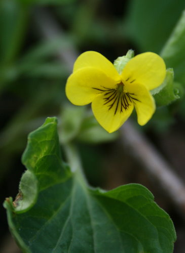 Downy Yellow Violet, Viola pubescens