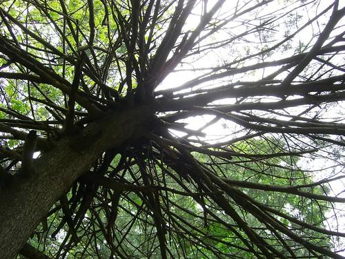 Crazy Old Pine Tree